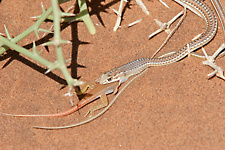 Namib sand snake eating