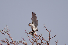 Pygmy falcon mating