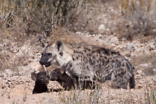 Spotted hyaena family