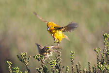 Cape weaver mating