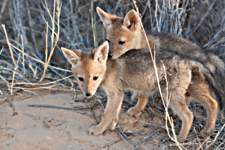 Black-backed jackal family