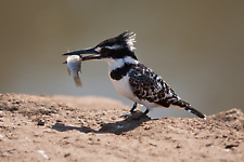 Pied kingfisher eating