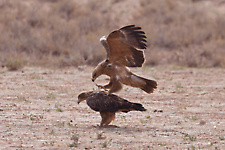 Tawny eagle mating