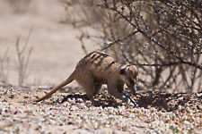 Suricate eating