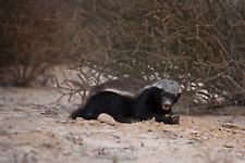Honey badger hunting