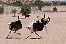 Ostrich fighting