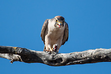 Lanner falcon eating