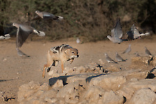 Black-backed jackal hunting