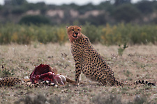 Cheetah eating