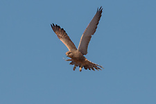 Greater kestrel in flight