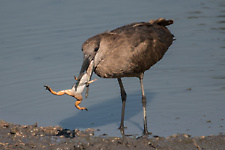 Hamerkop eating