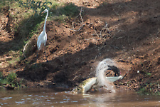 Nile croc and fish eagle