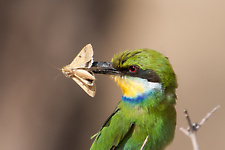 Swallow-tailed bee-eater eating