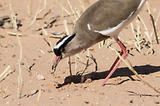 Crowned lapwing eating