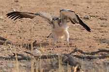 Martial eagle stretching wings