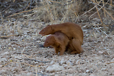 Slender mongoose mating